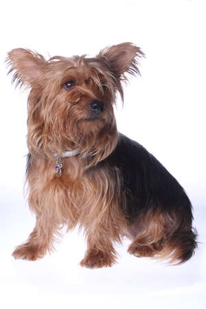 pet therapy: yorkshire terrier little dog