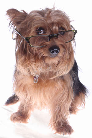 Yorkshire Terrier: yorkshire terrier with glasses