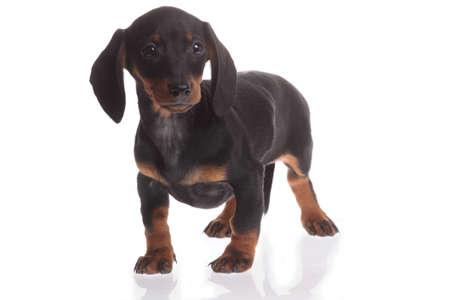 pet therapy: Black dachshund dog on white background Stock Photo