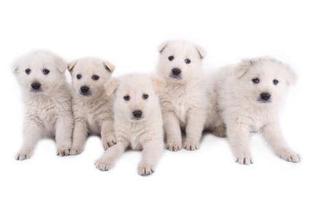 pet therapy: white puppies of Maremma sheepdog Stock Photo