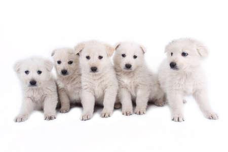 animalitos tiernos: cachorros blancos de perro pastor de Maremma