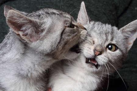 dominacion: dos gatos en una pelea a pu�etazos Foto de archivo
