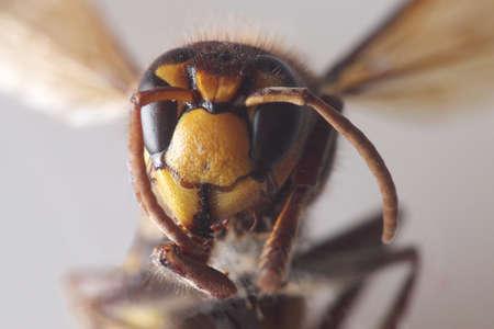 the bumblebee - vespa crabro - macro close-up 写真素材