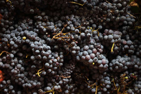 the black grape of the 2019 vintage in Campania - Italy