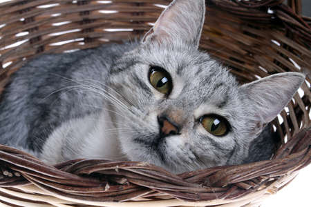pets - close up on the gray tabby cat in the basket Archivio Fotografico - 134417983