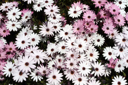 white and purple daisies bloom in spring