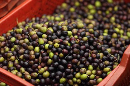olive oil harvest in Italy - autumn 2020 season