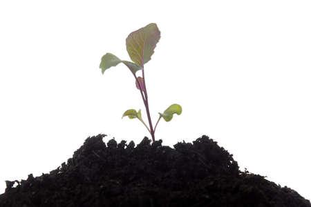 the purple cabbage plant