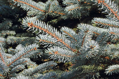 staunch: A close view of the short pointed needles of a blue spruce tree.