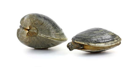 smaller: A large quohog and smaller soft shelled clam on a white background. Stock Photo