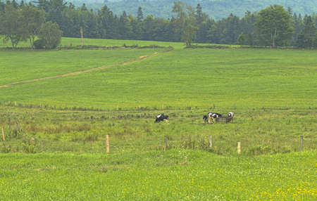 fenced: Cows grazing and drinking in a large fenced pasture