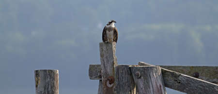 A great profile of an osprey perched on piling. photo