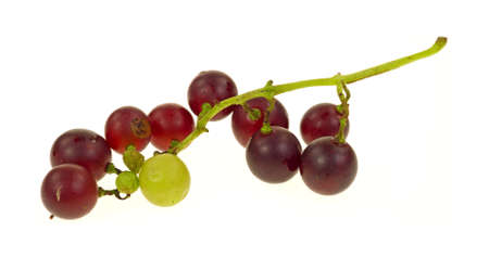 home grown: A single branch of home grown ripening red and green grapes