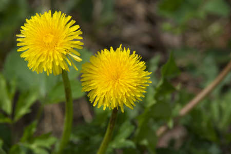 perky: Looking up at two perky yellow dandelion blossoms.
