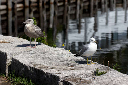 webbed legs: Speckled gray and white gulls resting on sea wall. Stock Photo