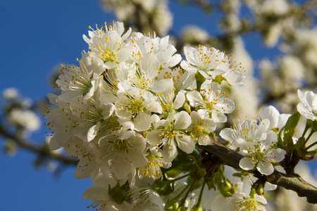 cherry blossom Stock Photo - 9182260