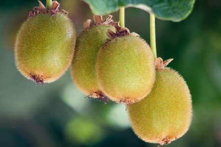 albero frutta: kiwi