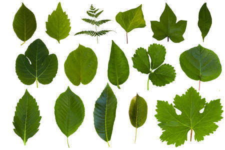 Isolated green leaf collection photo