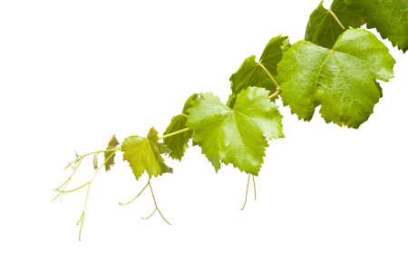 hojas: Vineyard branch isolated on white background Stock Photo
