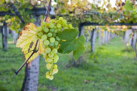 Tros druiven in de wijngaard Stockfoto - 10624358