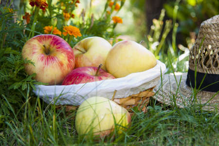 basket of apples in the field photo