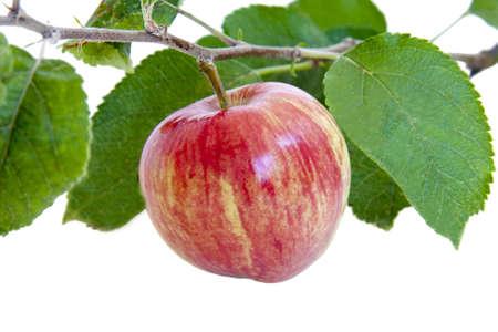 arbol de manzanas: manzanas aislados en blanco Foto de archivo