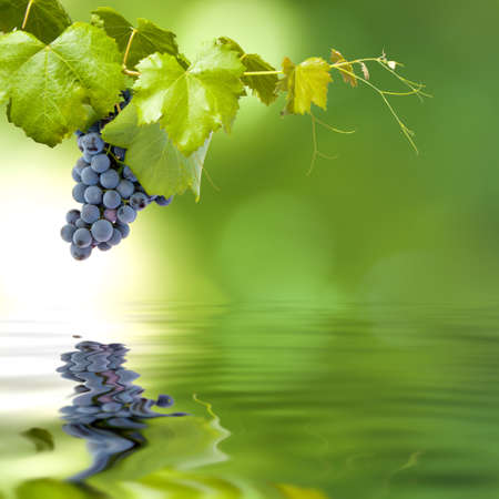 bunch of grapes in the field of strain on a green background and reflection in the pond