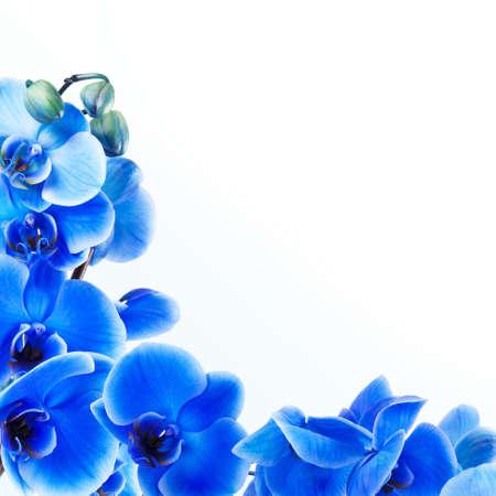 flores exoticas: ramo de la orqu?dea azul sobre fondo blanco