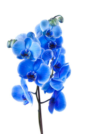 blue orchid: bouquet of blue orchid isolated on white background