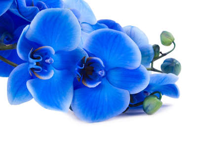 bouquet of blue orchid isolated on white background photo