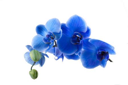 Boeket van blauwe orchidee geïsoleerd op witte achtergrond Stockfoto - 19986668