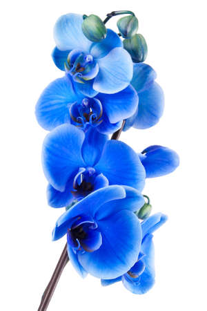 blue flowers: bouquet of blue orchid isolated on white background