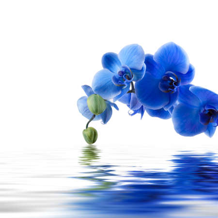cut flowers: blue orchid background with reflection in water