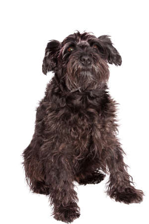 schnauzer dog breed with pedigree in black photo