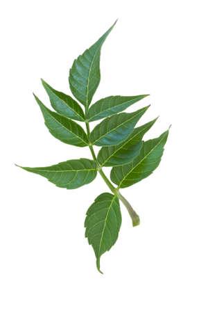Tak met groene bladeren geïsoleerd op witte achtergrond Stockfoto - 27071372