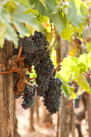 bunches: bunches of grapes in the vineyard