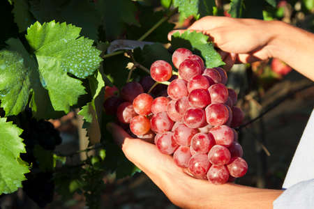 hands picking grapes harvest