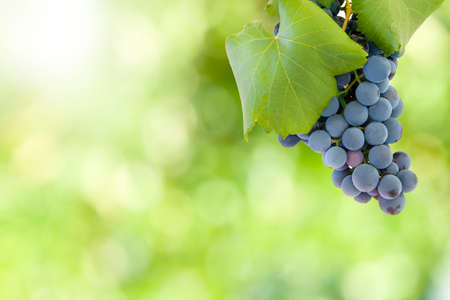 black grapes with leaves and green background out of focus Stock Photo