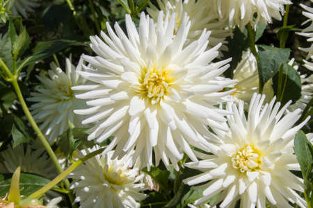 chrysanthemum flower open in the garden