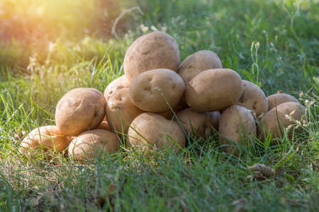 patatas apiladas en la hierba, la cosecha y la agricultura