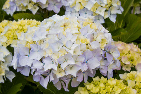 close-up of natural hydrangeas in flowering, flowers