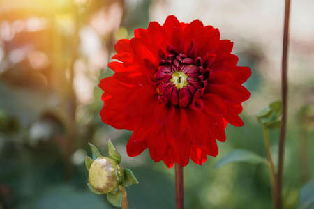 red chrysanthemum flower in bloom, flowers and gardening
