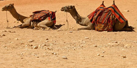 Camels relaxing in the desert of Wadi Rum in the south-east of the Jordan photo