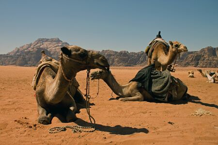 Camels in the desert of Wadi Rum in southern Jordan