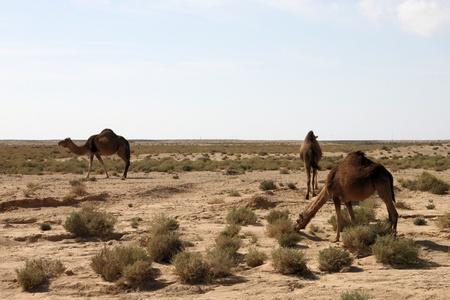 Camel attraversando cartello stradale nel deserto tunisino vicino a Tozeur