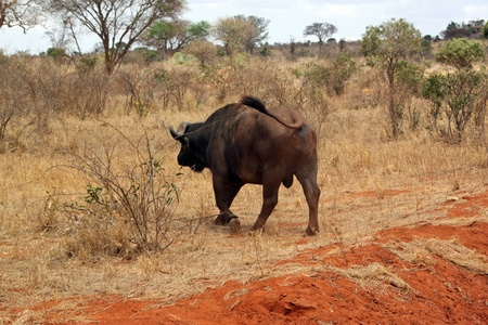 Buffalo nella savana del parco Tsavo, Kenya, East Africa Archivio Fotografico
