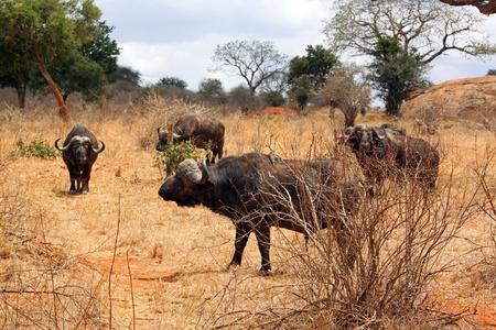 grazer: Buffalo in the savannah of Tsavo park, Kenya, East Africa