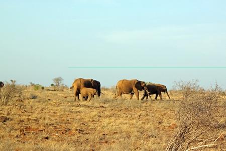 Savannah elephants, at Tsavo East in Kenya photo