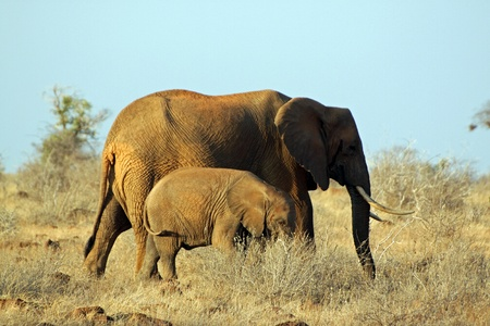 Mother and baby elephants at the Tsavo East park in Kenya photo