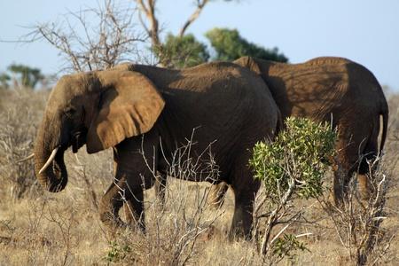 Elefanti della savana, a Tsavo Est in Kenya